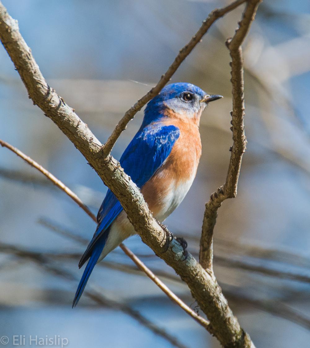 Eli bluebird6 sm.JPG