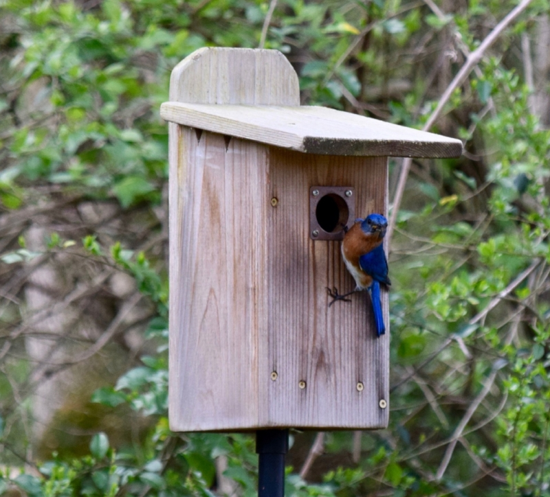 When bluebirds show interest in your nesting box is the best time to offer food.