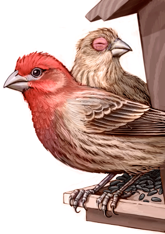 housefinch.png