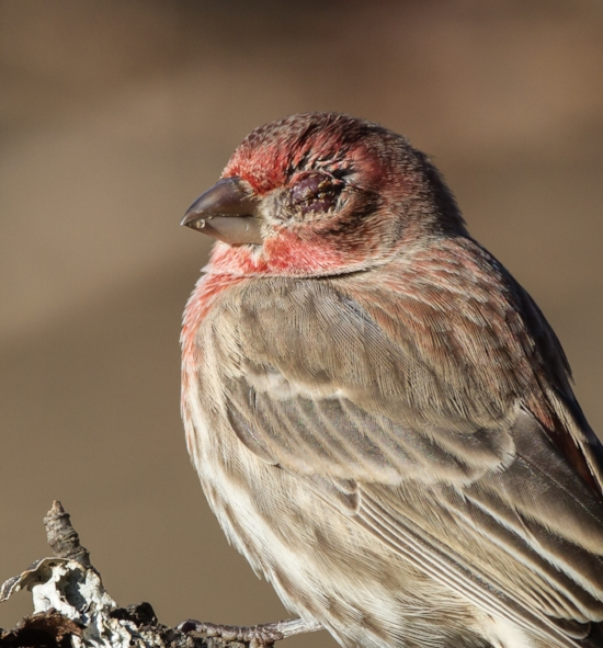 housefinch2.png