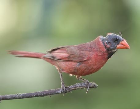 bald cardinal2.jpg