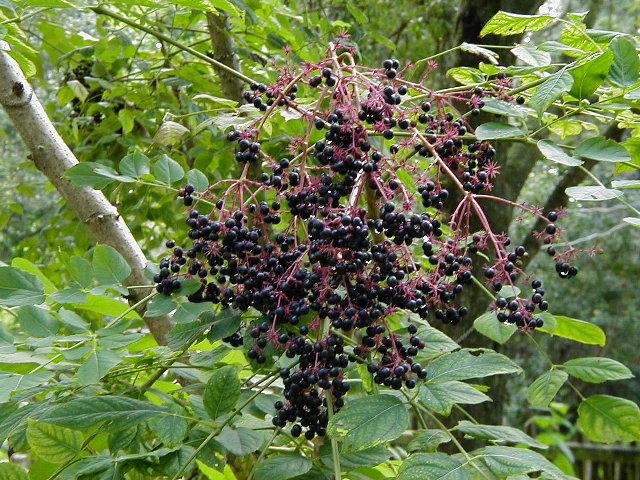 Devils Walking Stick, Berries