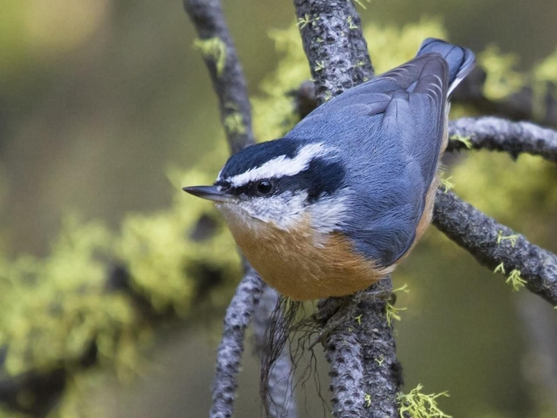 Male Red-breasted Nuthatch.