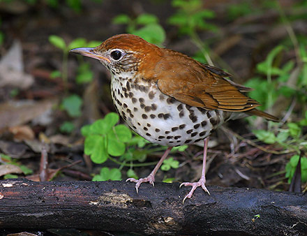 Related Bird: Wood Thrush. Click on picture for more info.