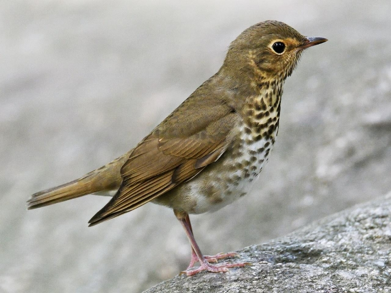 Related Bird: Swainson's Thrush. Click picture for more info.
