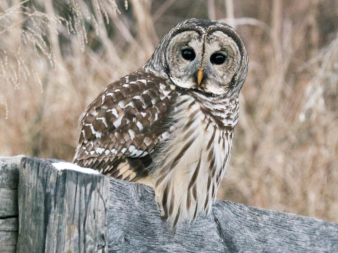 aab barred owl.jpg