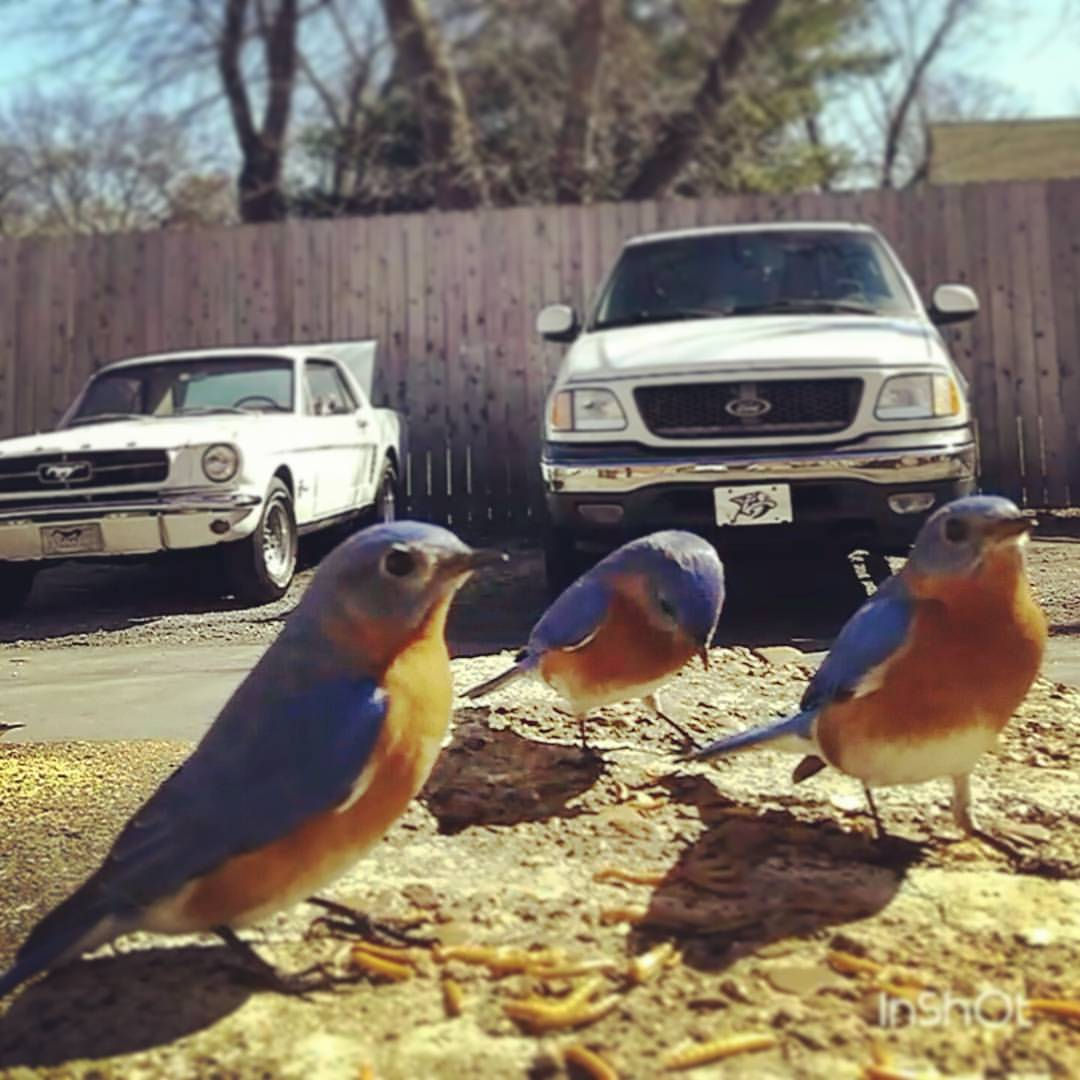 up close bluebirds.jpg