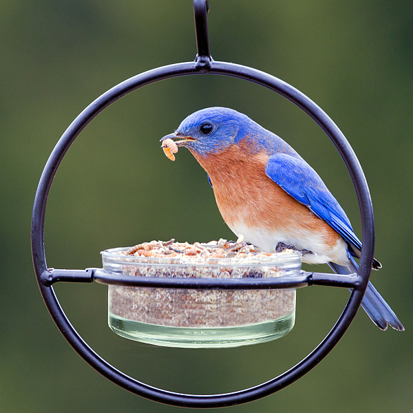 Bluebird feeders can be any small dish or tray. however I would not put this many mealworms out at one time.
