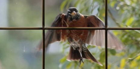 robin attacking window.jpg