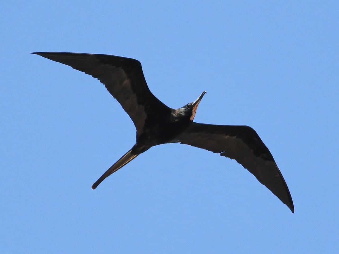 Non breeding male Frigatebird