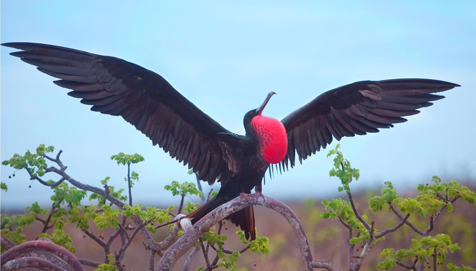 Breeding male Frigatebird