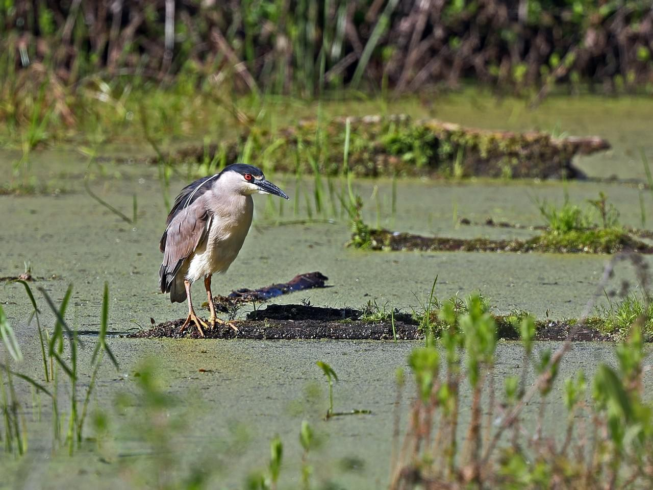 aab black-crowned heron2.jpg
