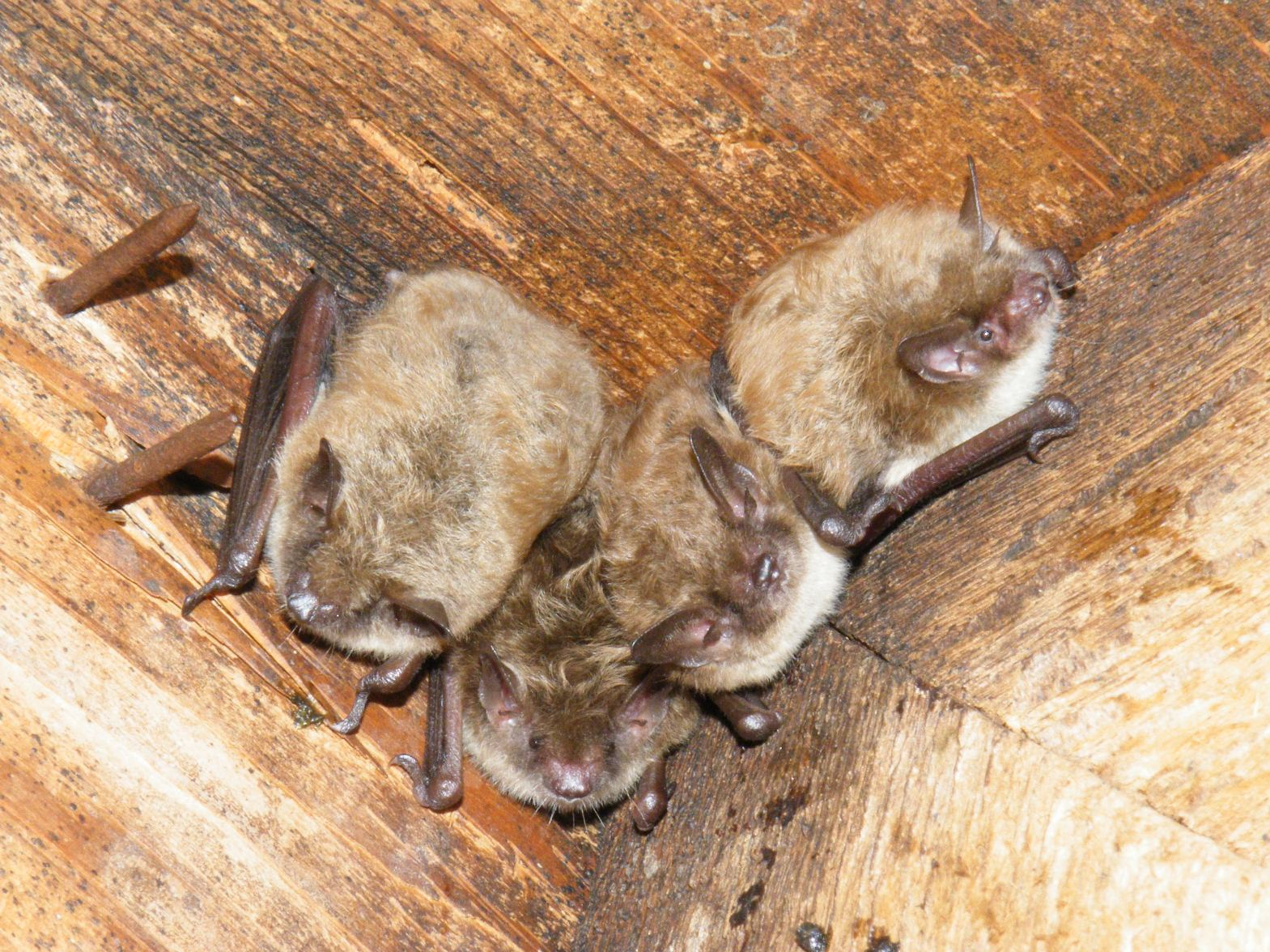little brown bat.jpg