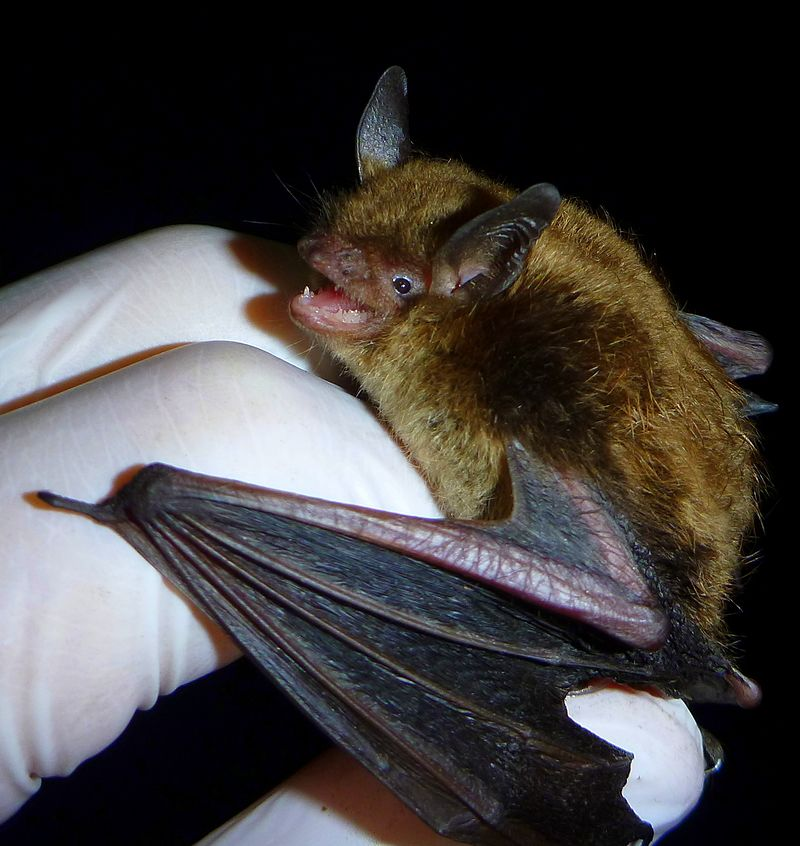 Little_Brown_Myotis_(cropped).JPG