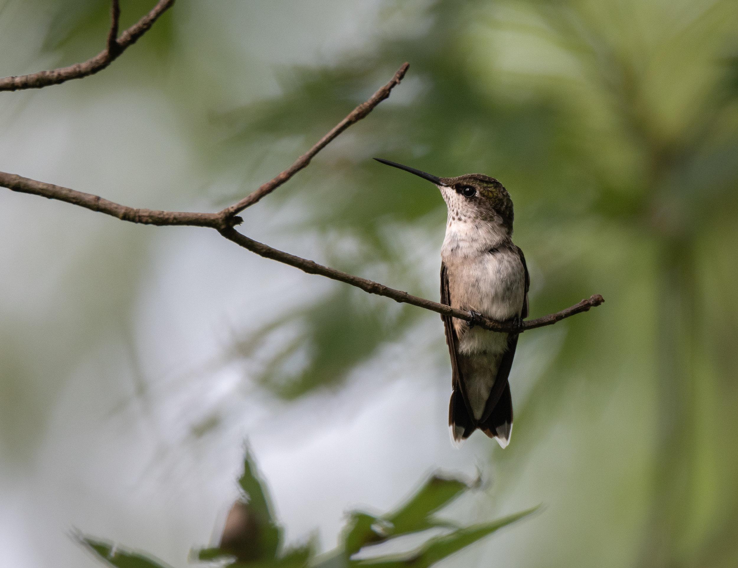 Eli hummingbirdAug2019.jpg