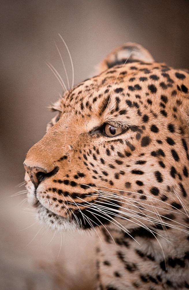 Leopard3.jpg