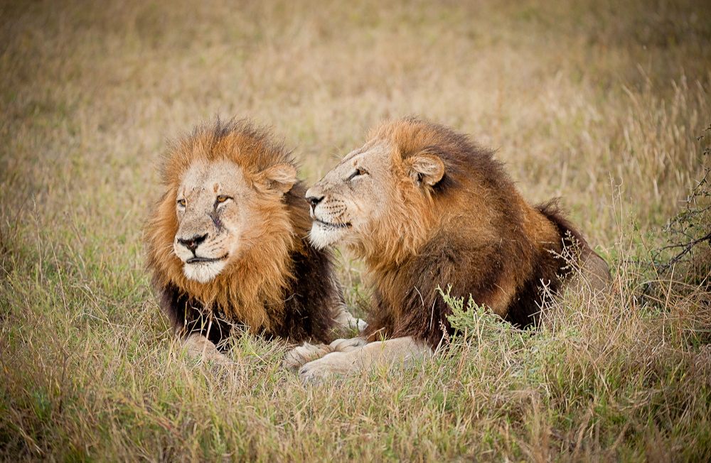 Lions 3.jpg