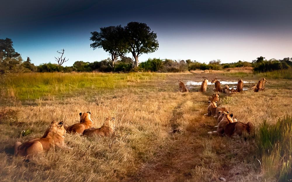 lions hunting.jpg