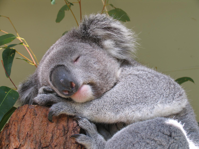 koala-asleep-in-a-tree