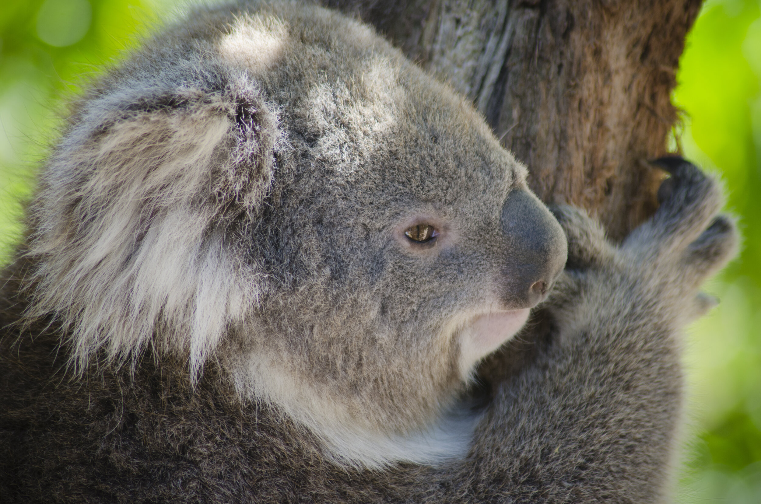 Don't call me a Koala Bear! -