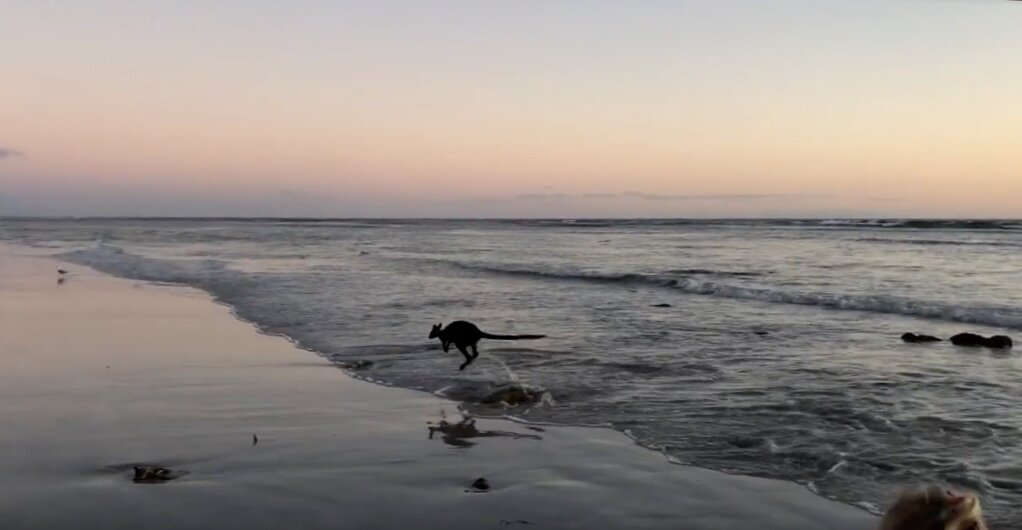 Only in Australia! Our family witnessed this Aussie icon out amongst the waves, before it bodysurfed in and hopped away along the beach at sunset!