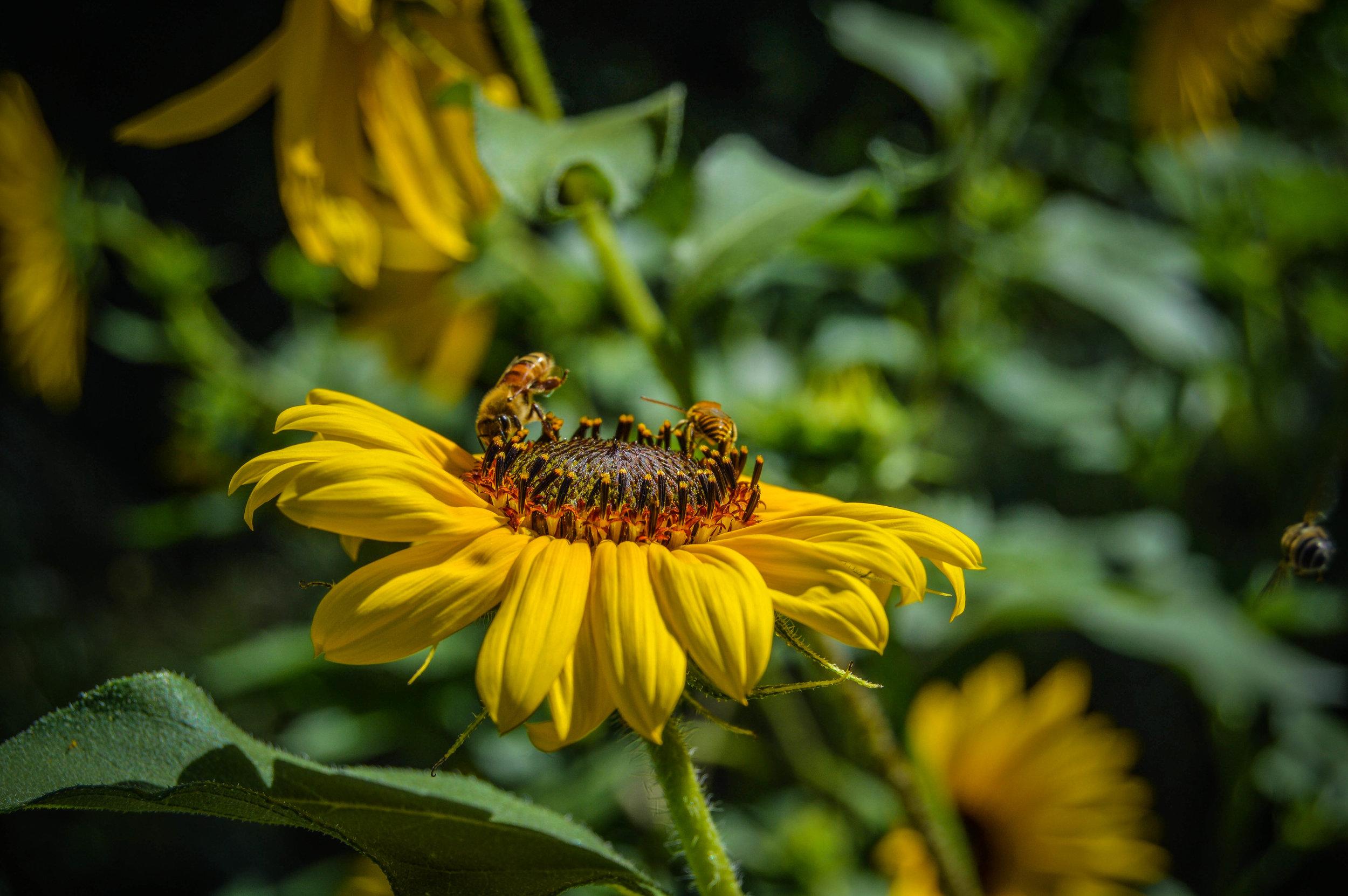Bee on a flower.jpg