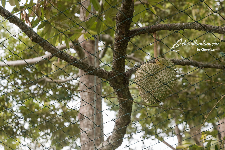 Bao Sheng Durian Farm Penang