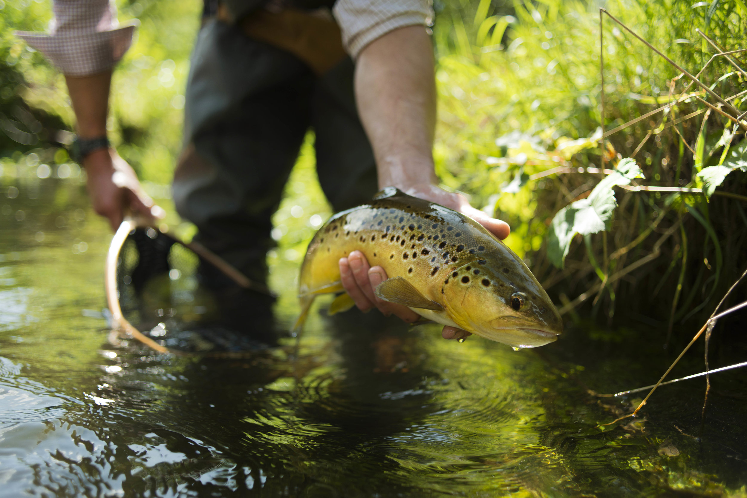 brown trout from the river itchen