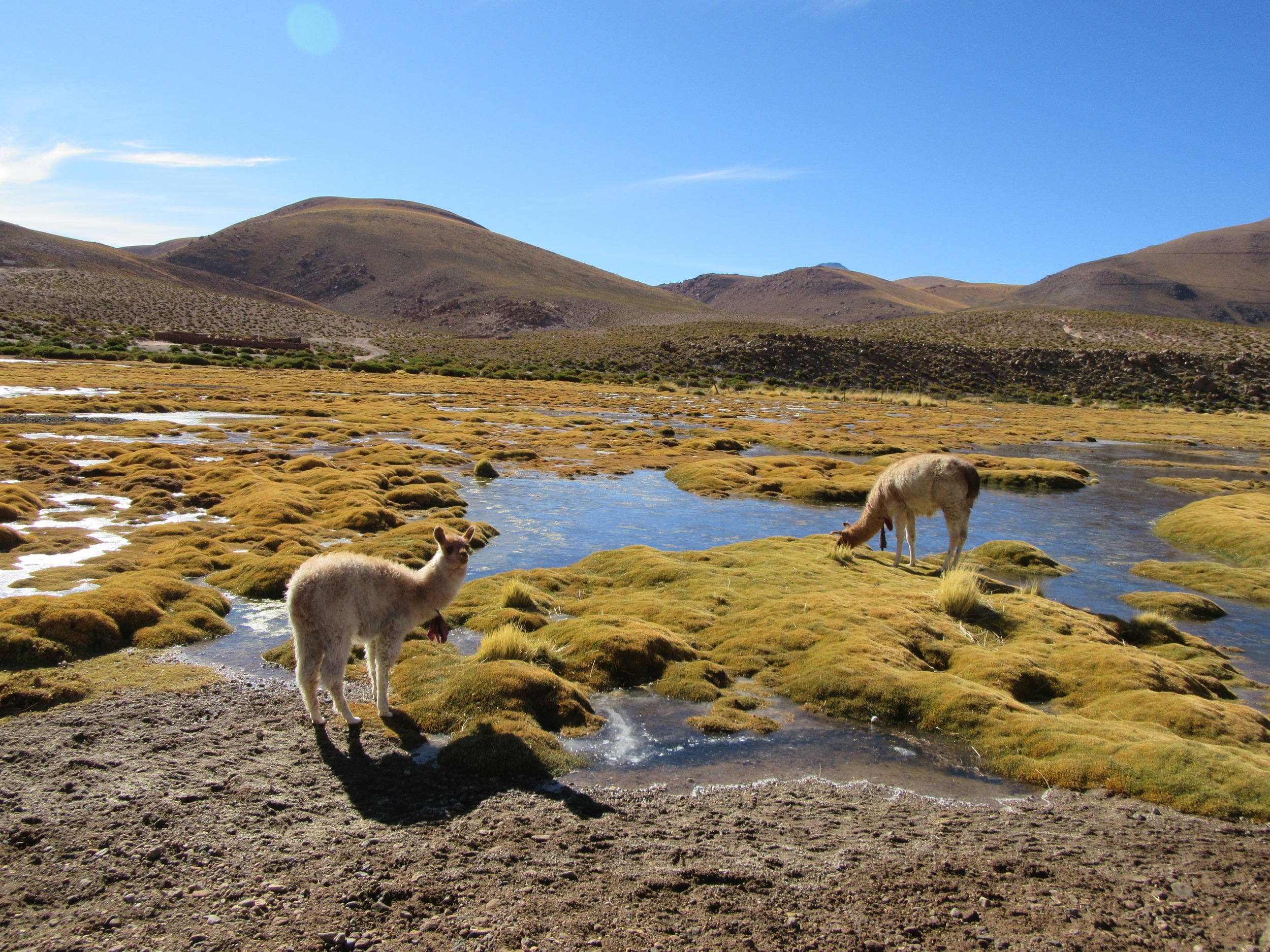 llamas grazing near the village of Tocoñao
