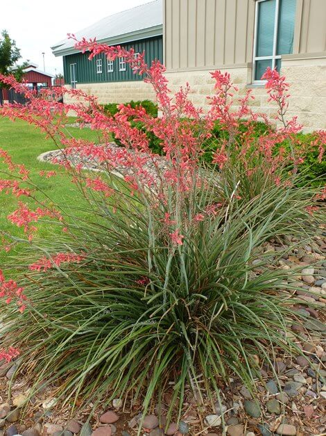 Red Yucca downtown plant.jpg