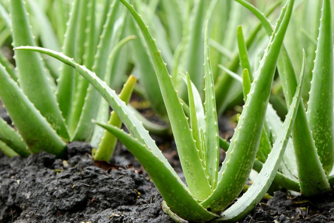 Aloe Vera downtown plant.jpg