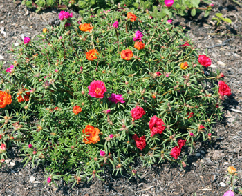 Moss Rose downtown plant.jpg