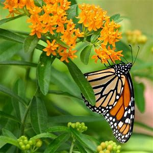 Butterfly Milkweed downtown plant.jpg