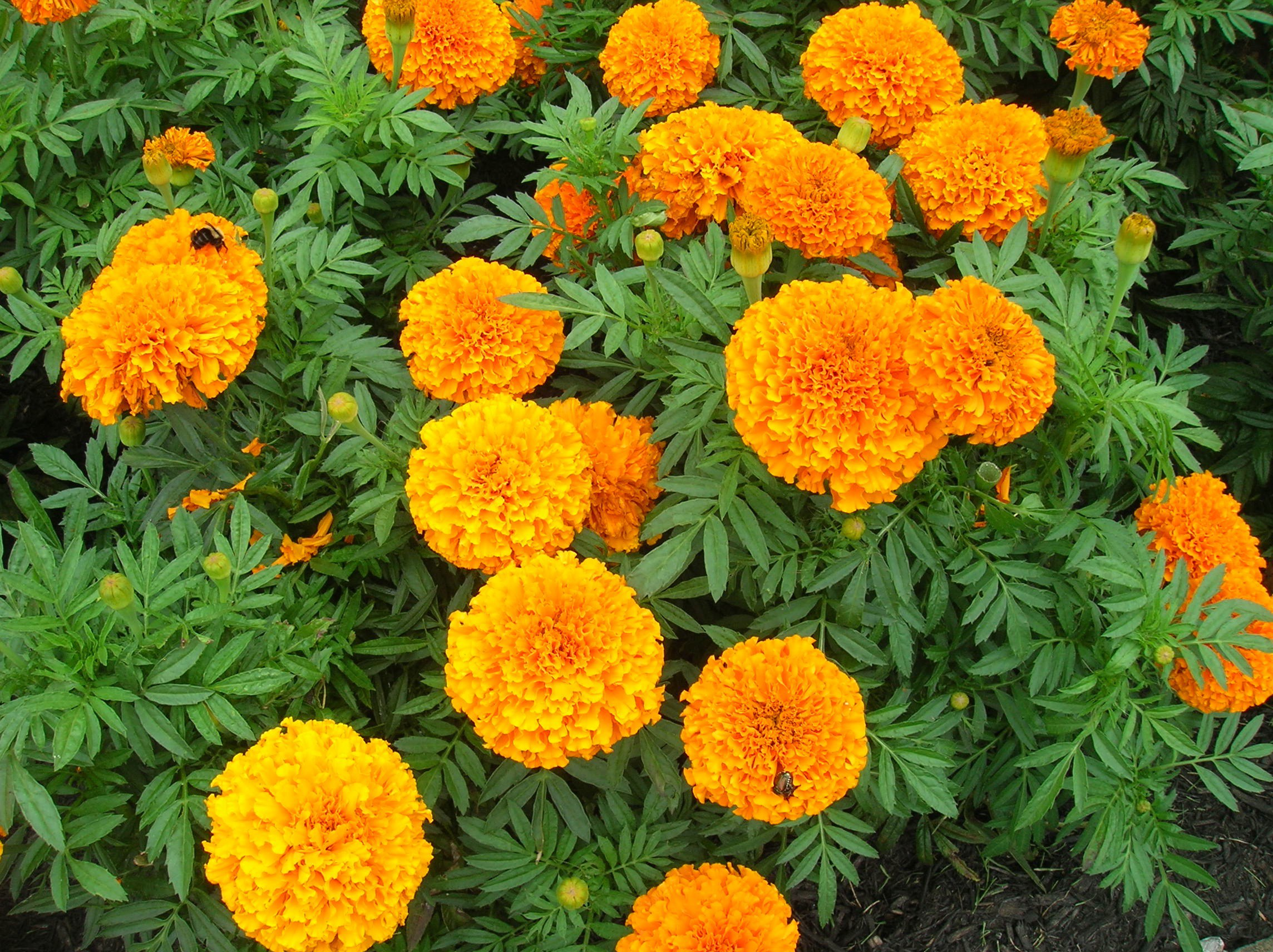 Marigolds downtown plant.jpg