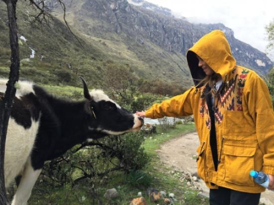 Petting a cow in Peru
