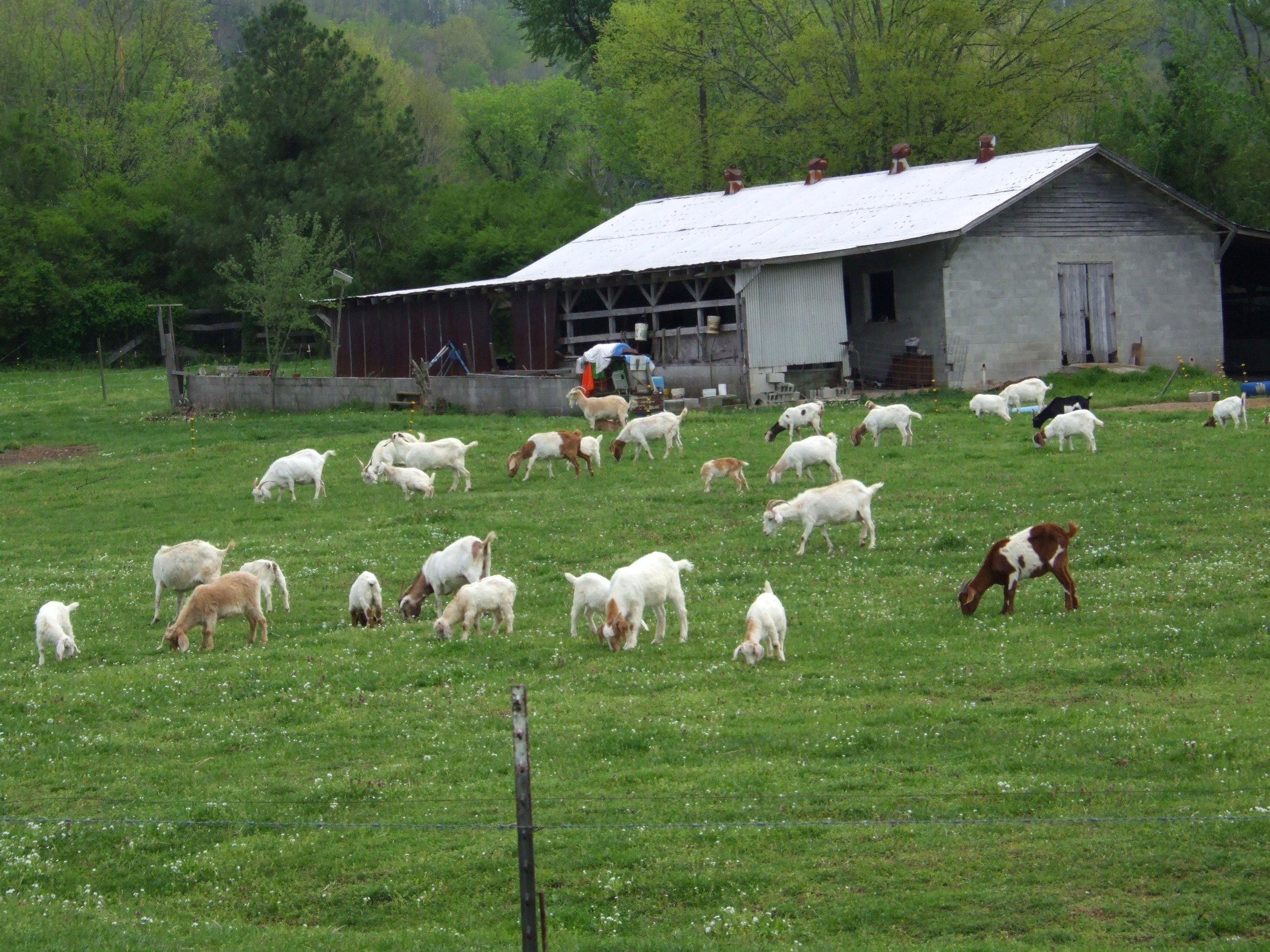Goatfarm2.jpg