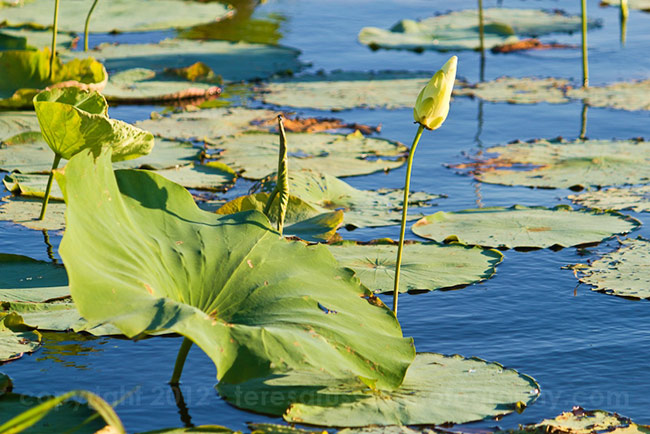 Lily pads and other forms of vegetation abound on Ross Barnett.