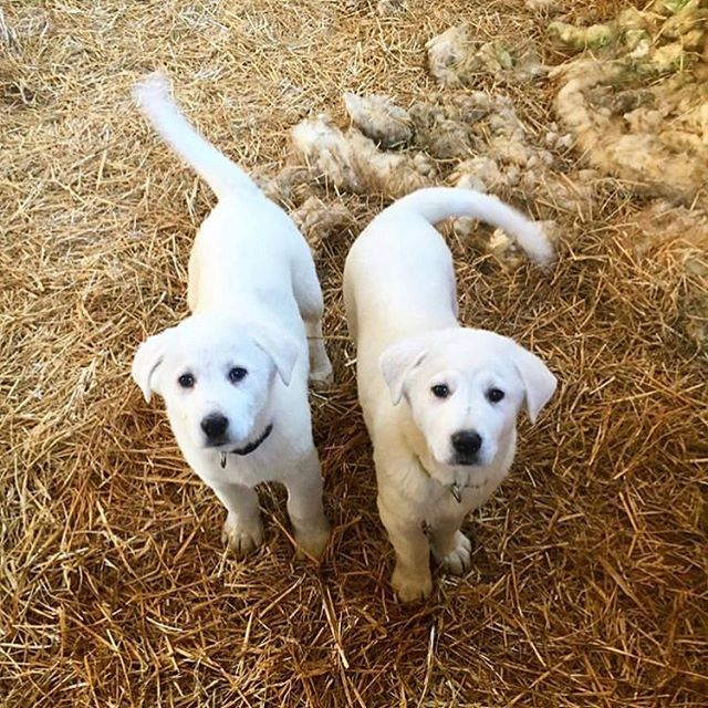Puppies in training! We're welcoming our newest livestock guard dogs to the farm this week. These Akbash siblings are acclimating to life with our livestock and learning what's expected of them from the farmers and the older dogs. It's tempting to want to snuggle them but they're in training, so we ask visitors not to pet them. #sotough #apprenticepups #LGD #akbash #akbashofinstagram #workingdogs #thosefacestho 📸 by @bonniecherner