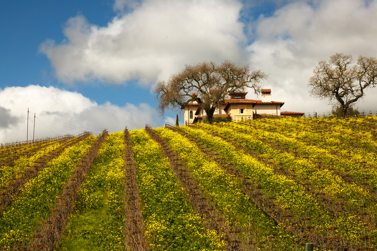 Vineyards and mustard blooms make a photogenic combination