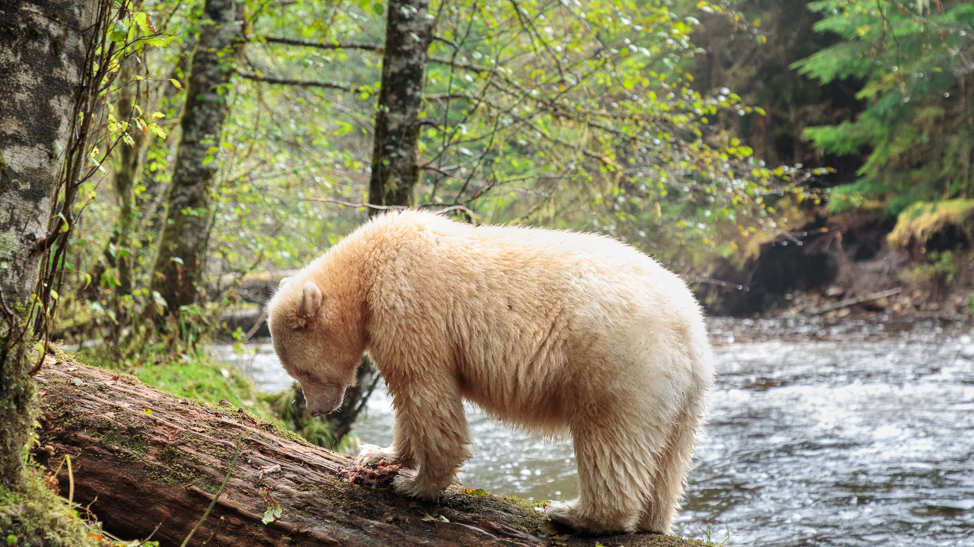 Spirit Bear Selects_012****.jpg