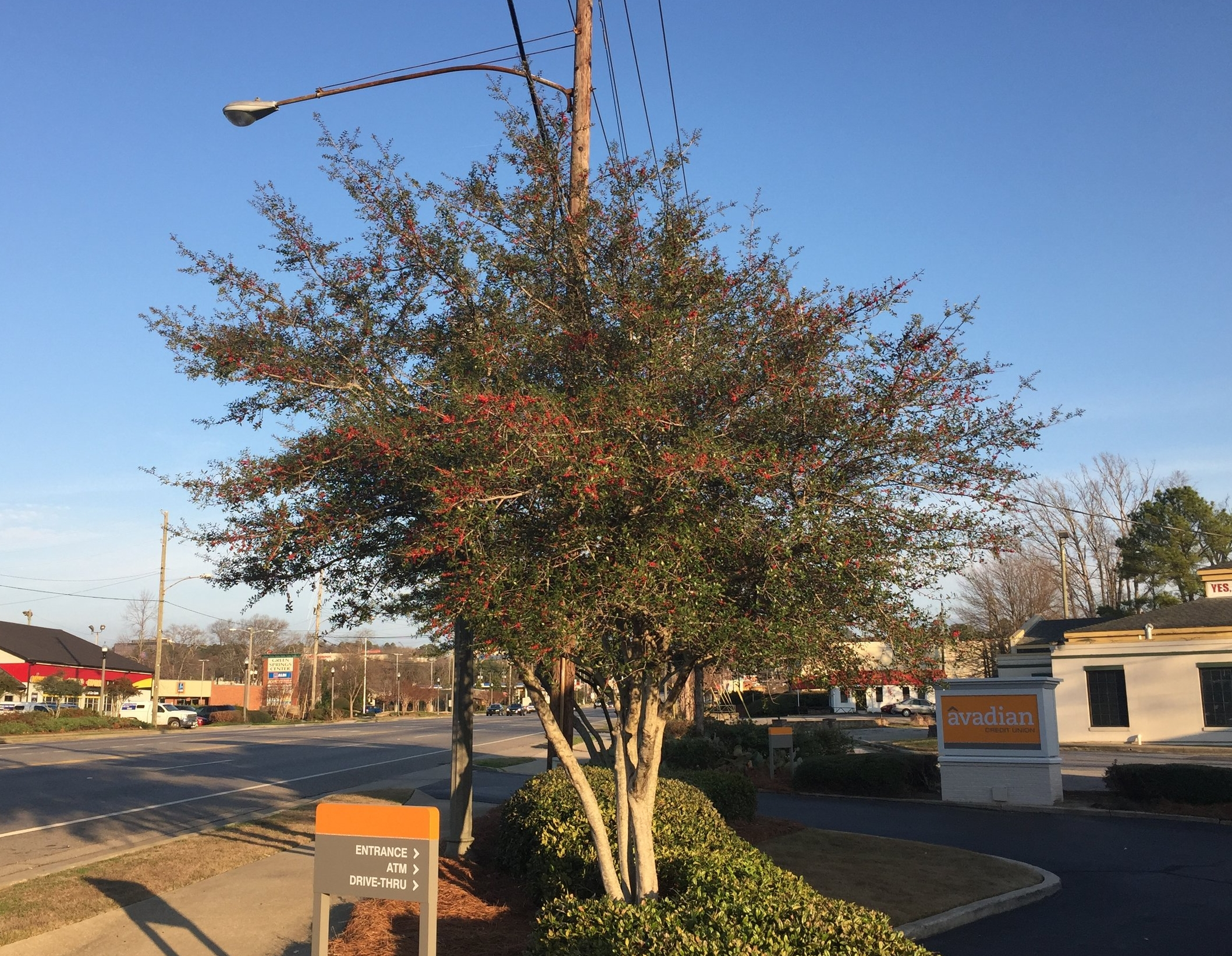 The multi-trunked, tree form of yaupon is excellent in powerline easements.