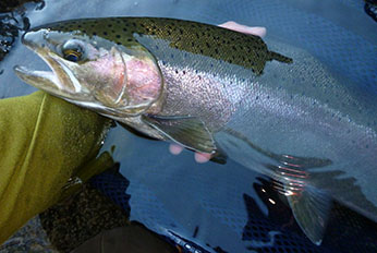 Wild Klamath Mountain Province steelhead.  CDFW photo by Jeff Weaver.