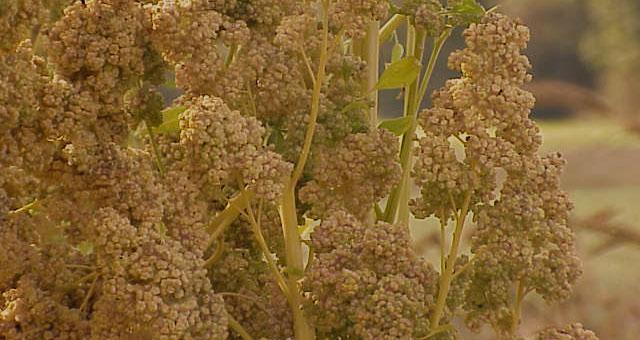 Semente de quinoa