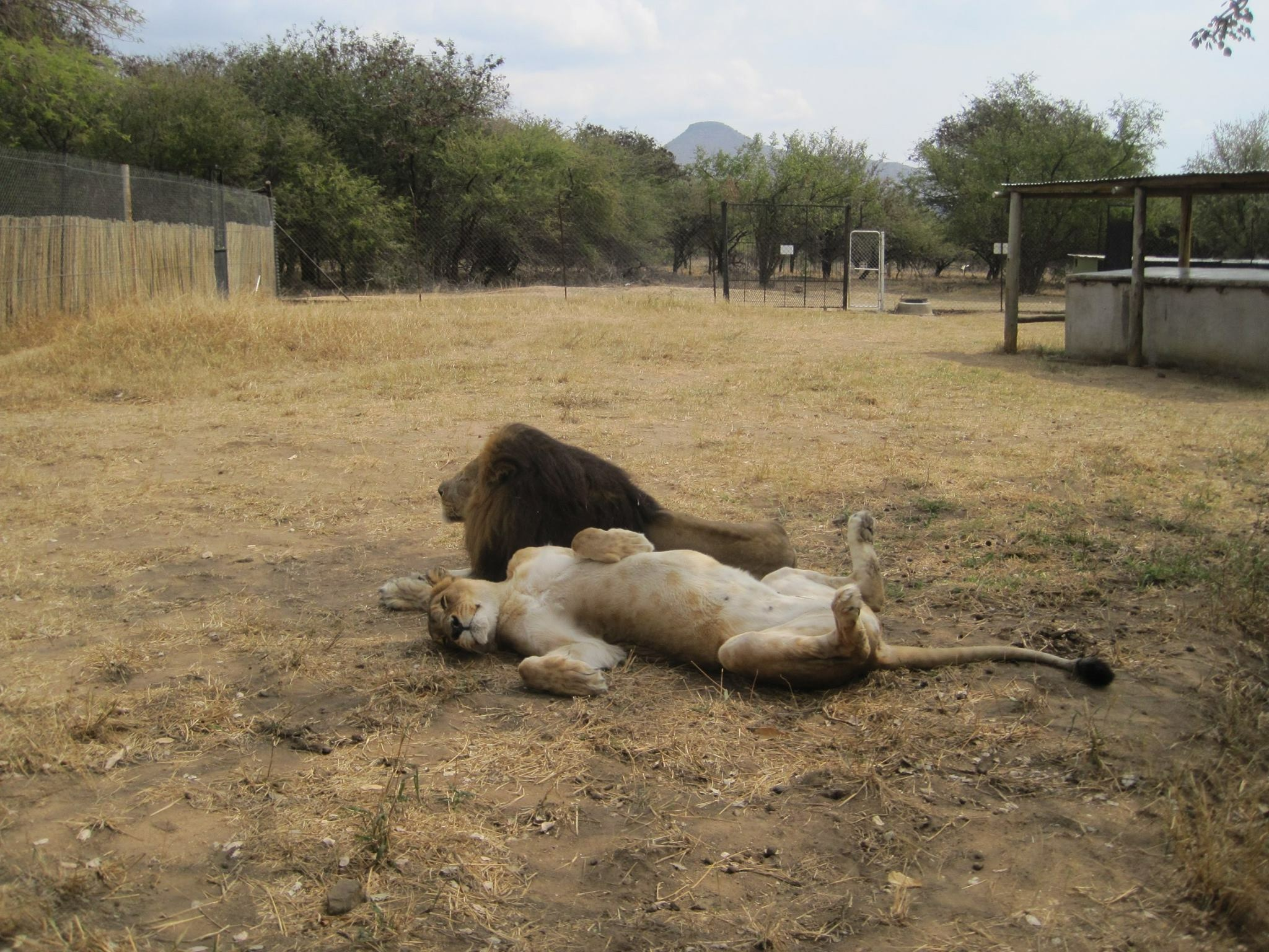 The oldest lions at the rehab in their HUGE enclosure. Matimba & Tamu