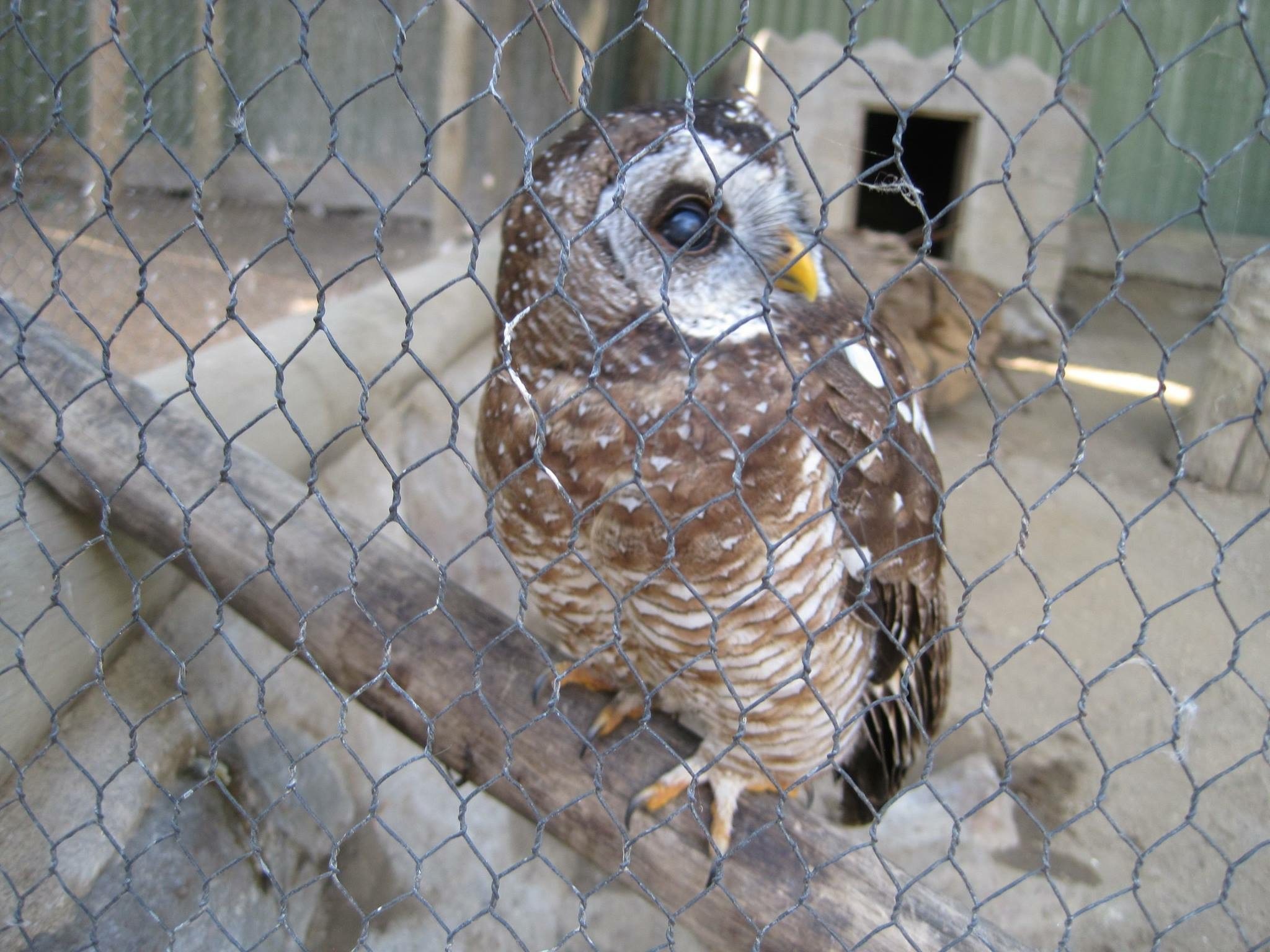 Woody the blind spotted owl.