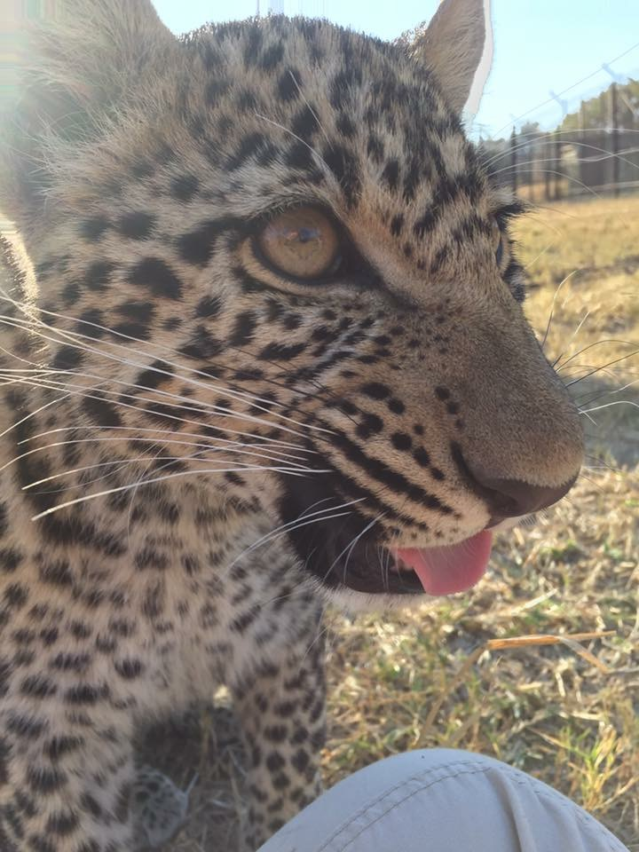 Layla, an orphaned leopard cub, getting some human interaction before she heads to a leopard specialized sanctuary where she will no longer interact with humans at all.