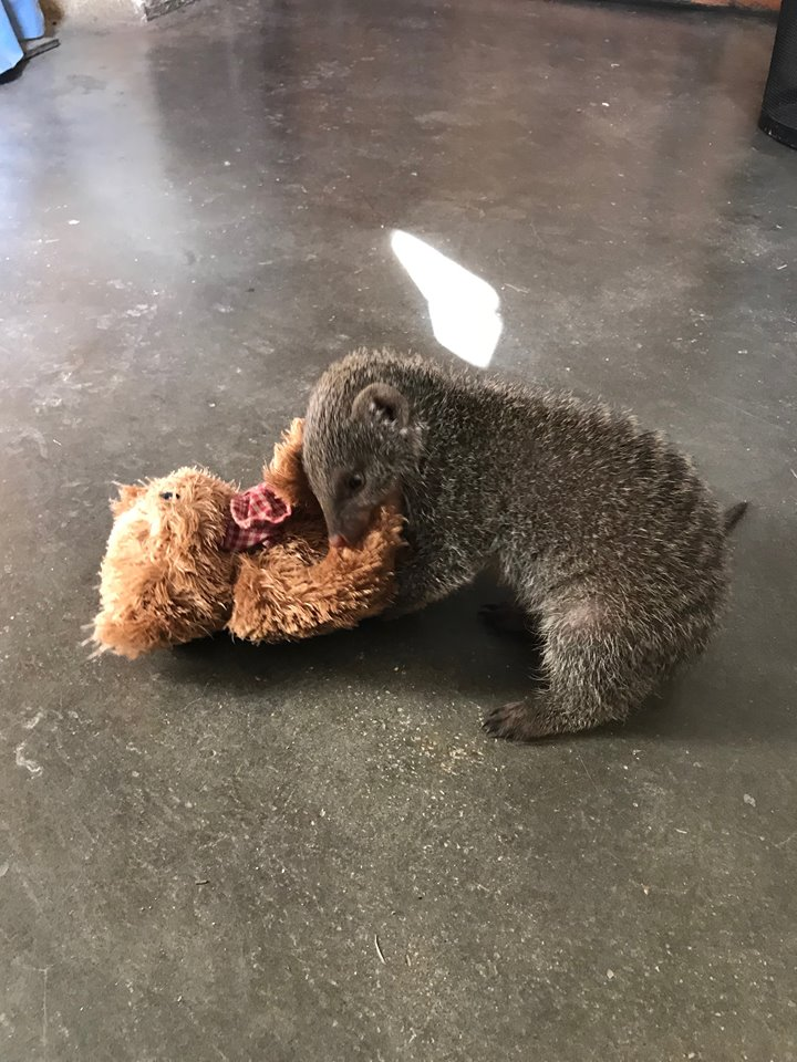 Olivia the Banded Mongoose