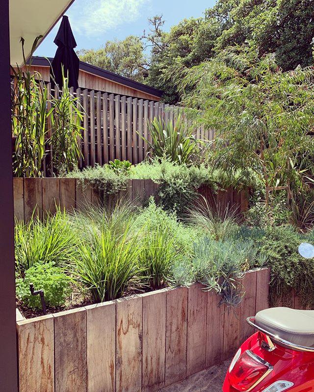 What heat? 🌞😤🌿#thegoodgardenco #sorrento #35 #hot #landscapedesign #plants #morningtonpeninsula #garden #summer 🤙