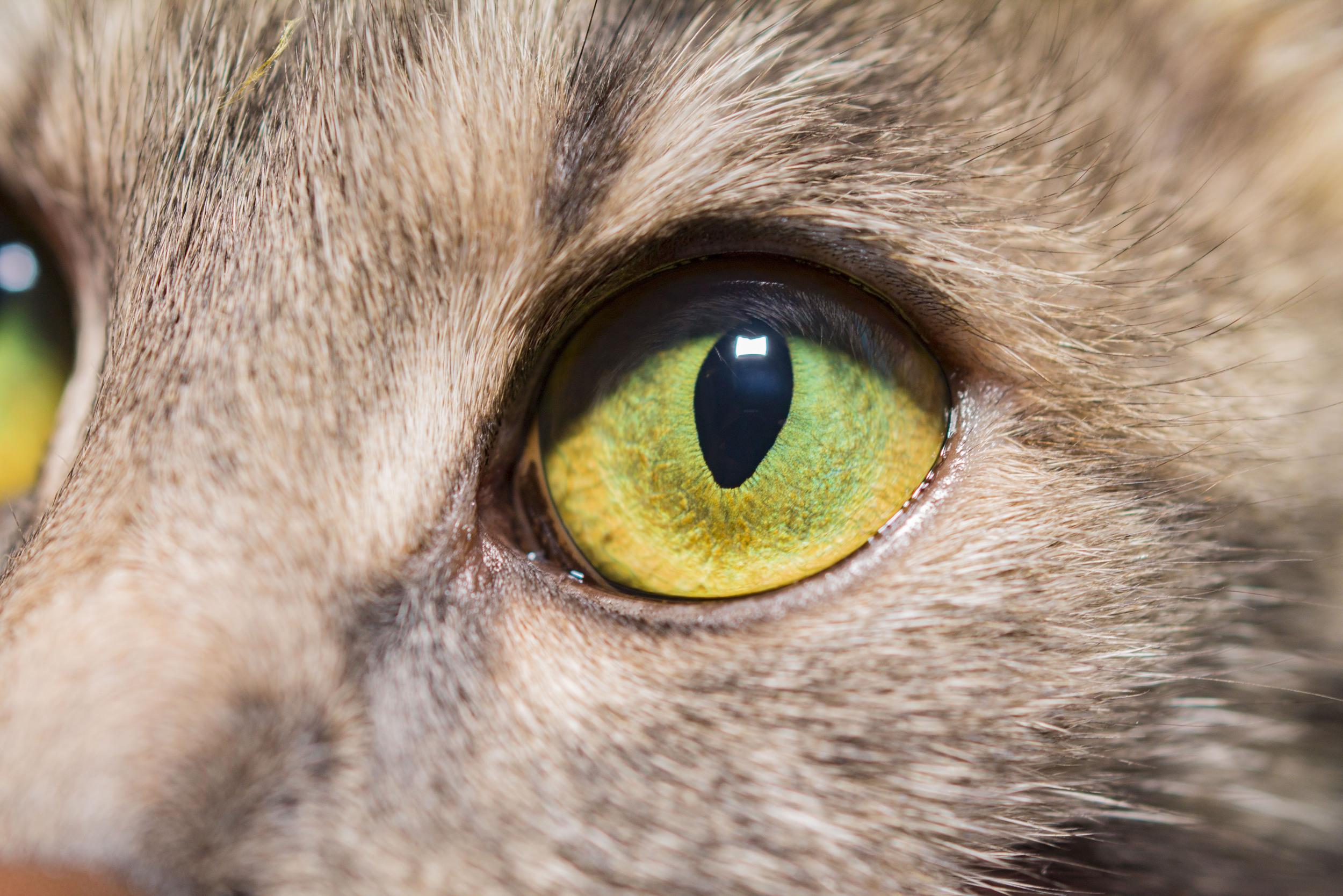 shutterstock cat green eye_457025764.jpg