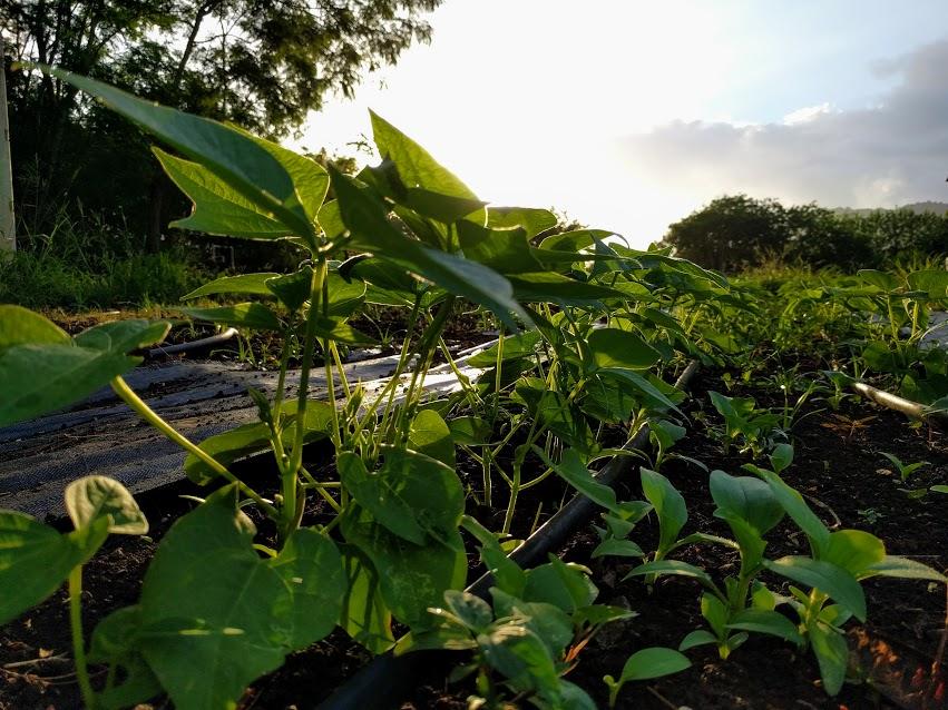 beans in sun.jpg